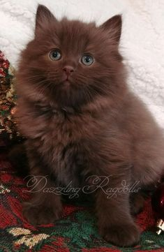 chocolate solid ragdoll kitten - too cute! chocolate solid ragdoll kitten - too cute! Ragdoll Cat Breeders, Ragdoll Kittens For Sale, Cute Cats And Kittens, Cool Cats, Kittens Cutest, Ragdoll Cats, Funny Kittens, White Kittens, White Ragdoll Cat