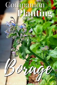Not only are its striking star-shaped flowers picturesque to look at, but borage is an excellent companion plant that helps other plants to thrive, and it is entirely edible from stem to flower. Follow our guide to learn about borage uses, benefits, and companion planting advantages. #companionplanting #growingborage Amazing Gardens, Preserving Herbs, Garden Pests, Plants, Companion, All About Plants, Borage, Companion Planting, Gardening Tips