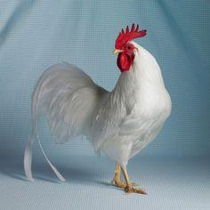 tamara-staples-pretty-chicken-fancy-white-leghorn-bantam.jpg (920×920)