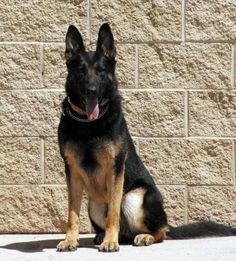 MWD  --he looks like our Briggs! Handsome!