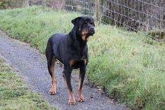 Rottweiler.jpg (810×540)