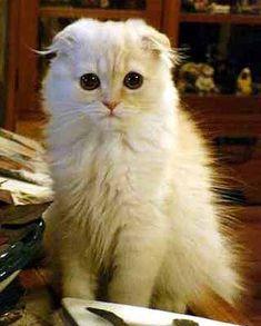 What a gorgeous baby!  Montessori Scottish Fold Cats #fluffycatsbreedsscottishfold