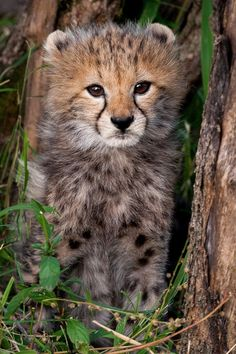 beautiful-wildlife: Cheetah Cub by Sergey Agapov Pretty Cats, Beautiful Cats, Animals Beautiful, Beautiful Pictures, African Cats, African Animals, Cute Baby Animals, Animals And Pets, Kittens Cutest