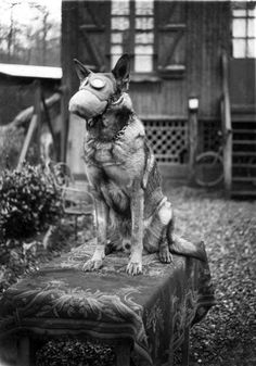 WWI, French Red Cross dog with gas mask, 1917 - Dogs had a vital part to play in World War One as the complexes of trenches spread throughout the Western Front. Dogs were used as messengers and proved to be as reliable as soldiers in the dangerous job of running messages. A trained dog was faster than a human runner, presented less of a target to a sniper and could travel over any terrain.