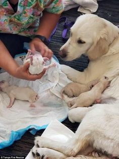 Ellie's owner was right by her side as the two-year-old Labrador retriever gave birth unexpectedly to a litter of eight, include seven male puppies and one female puppy #labradorretriever
