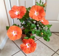 """Orange Cappuccino from Fancy Hibiscus in Florida. """"Blooms like a fool."""""""