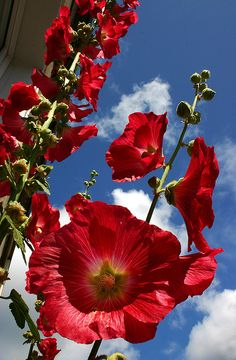 Alcea, commonly known as hollyhocks make a beautiful contrast against the blue and white sky...