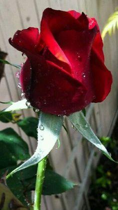 Eine Rose nur für dich allein!