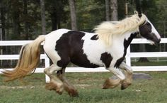 Milk & Cookies, The star of our Banner. A beautiful Gypsy Vanner mare.