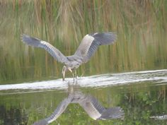 Bird Photos, Birding Sites, Bird Information: GREAT BLUE HERON WITH WINGS SPREAD GOING AFTER A F...