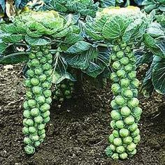 Learn the basics of growing brussels sprouts in your own garden.  Healthy and delicious vegetable.