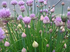 It's that time of year when our gardens come alive with as many fabulous flowers as you can imagine. Did you know that many of these jewels are also edible? Chives Plant, Chive Blossom, Kitchen Witchery, New Flavour, Edible Flowers, Garden Beds, Magick, Pagan, Bloom
