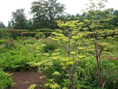Oudolf's personal garden in 2013, Hummelo, The Netherlands. photo Tony Spencer _/\/\/\/\/\_  Peucedanum verticillare holds court