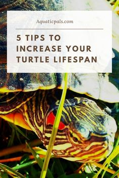 Learn how long do red eared sliders live, and how to increase their lifespan. Red Ear Turtle, Pet Turtle, Baby Turtles, Baby Red Eared Slider, Red Eared Slider Turtle, 55 Gallon Tank, Turtle Life, Aquatic Turtles, Little Pets
