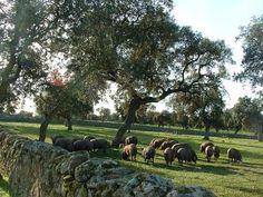 Cerdos en montañera #lospedroches #naturaleza #nature www.cortijosydehesa.com