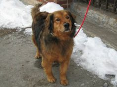 SUPER URGENT 2/6/14  Brooklyn Center    BUCKEY - A0991140  ***** SAFER: NH ONLY *****   NEUTERED MALE, BROWN / BLACK, GOLDEN RETR / GERM SHEPHERD, 9 yrs  OWNER SUR - EVALUATE, NO HOLD Reason LLORDPRIVA   Intake condition GERIATRIC Intake Date 02/06/2014, From NY 11693, DueOut Date 02/06/2014 MAIN THREAD: https://www.facebook.com/photo.php?fbid=755411824471699&set=a.617942388218644.1073741870.152876678058553&type=3&theater