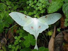 """A """"actias selene"""" é uma borboleta que tem cor estranha e delicada e extraordinário comprimento de asas em ponta. Vive no Japão e países próximos. Selene significa """"lua""""."""
