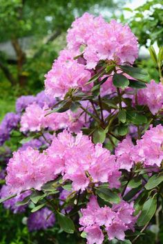 Plant Rhododendron for its bulky background foliage year-round, with the perk of spring color.