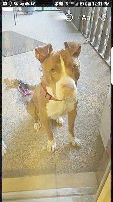 Stampede Pitbull Terrier Dog Adoption American Pitbull Terrier