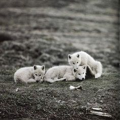 wolves. ahh theyre so cute!!