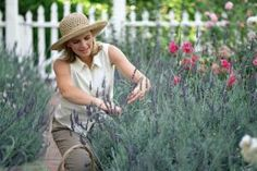 Types of Lavender and How To Prune Them