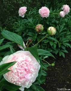 How to Plant Peonies - so they Bloom! - Garden Style - How to Plant Peonies - so they Bloom! These Sarah Bernhardt peonies are gorgeous and she has such Flowers Garden, Garden Plants, Planting Flowers, Cut Flowers, Flower Gardening, Peonies Garden, Wild Flowers, Flowering Plants, Shade Flowers Perennial