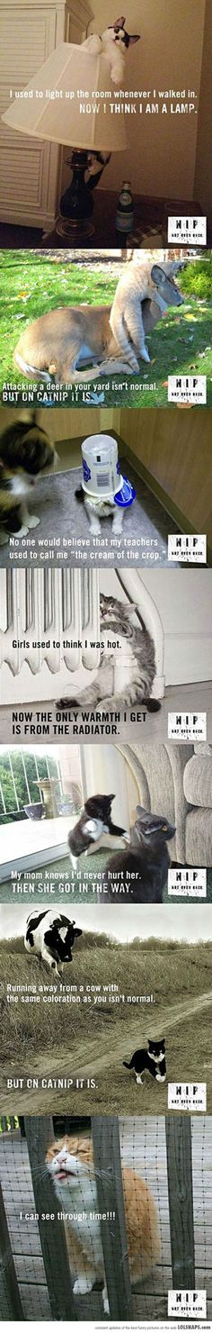 Catnip. Not Even Once. #catnip - Find out more about Cat nip at Catsincare.com!