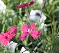 Newport Pink Dianthus features fragrant pink flowers that are attractive to #butterflies and #hummingbirds! #gardening #plants #flowers