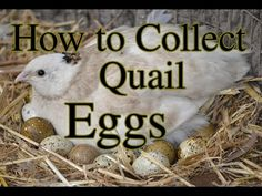 Quail lay differently to chickens here's how to collect their eggs safely. Backyard Chicken Coops, Diy Chicken Coop, Backyard Farming, Chickens Backyard, Quail Pen, Quail Coop, Quail Eggs, Raising Quail, Raising Goats