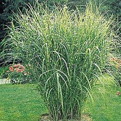 Zebra Grass, it gives great privacy and life to your yard!