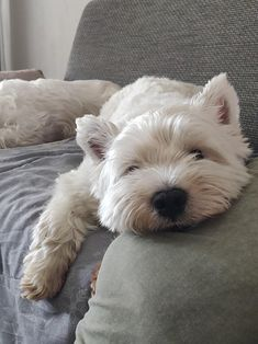 Things that make you go AWW! Like puppies, bunnies, babies, and so on. A place for really cute pictures and videos! Westie Puppies, Westies, Doggies, Fluffy Animals, Cute Baby Animals, Animal Pictures, Cute Pictures, West Highland Terrier, Cute Cats And Dogs