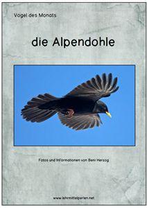 Vogel des Monats: die Alpendohle