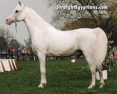 Horse Pedigree Database   Maboubah   Arabian, Egyptian   Association of Breeders of the Arabian Horse (VZAP)