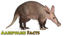 Aardvark facts & information: learn more about this fascinating African animal. Aardvarks are nocturnal insect-eating mammals. Animal Facts For Kids, Deer Cartoon, Deer Drawing, Best Swimmer, Hyena, Like Animals, African Animals, Leopards, Mammals