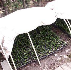 Plant Cuttings in Hoop House