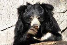 Oso negro asiatico, melenudo. Prefiere los árboles y camina en busca de temperaturas no.calientes, a él se los comen los linces euroasiático.