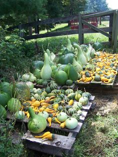 Gourds drying out