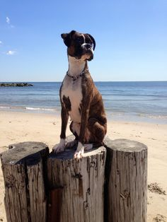 Boxer beauty ~ re-pinned by boxerdogchecks.com
