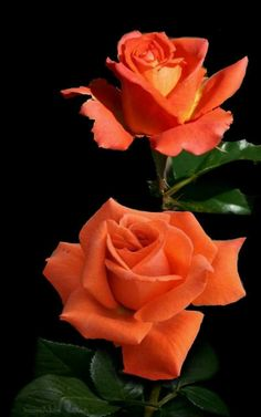My Flower, Flower Power, Beautiful Roses, Beautiful Flowers, Orange Roses, Advantages Of Watermelon, Rose Care, Rose Pictures, Horticulture