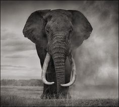 You can almost feel the anger of this elephant - but perhaps I'm just projecting. See the rest of Nick Brandt's work from this set to understand why the elephant would be mad - http://nickbrandt.com/Portfolio.cfm?nK=14260&nL=1&nS=0