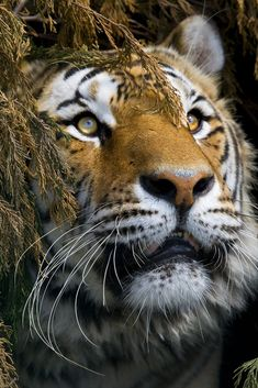 Tiger by sparky2000*