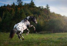 Appaloosa stallion WC Pine Chip Kid ow. Tammy McGarry Quebec, Canada 2015 © Katarzyna Okrzesik-Mikołajek www.photo-equine.com