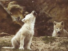 Pix For > White Wolf Pup Tumblr
