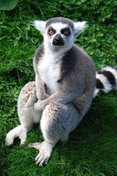 Ring tailed lemur.