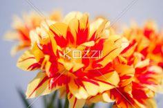 Closeup Tulip - A closeup of a tulip and its flower petals