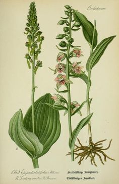 epipactis latifolia, listera ovata - high resolution image from old book. Vintage Botanical Prints, Botanical Drawings, Botanical Flowers, Botanical Art, Orchid Drawing, Flower Catalogs, Illustration Botanique, Nature Illustration, Art Clipart