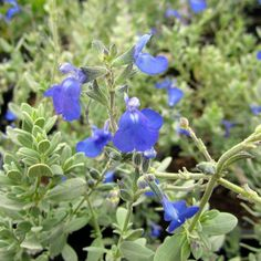 germander sage, salvia chamaedryoides. Great in sandy soil. Spreads by runners and fills in around other plants.