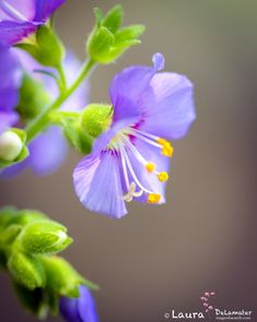 ~~Jacob's Ladder by Laura DeLamater~~ flowers Flower Names, My Flower, Flower Power, Amazing Flowers, Purple Flowers, Beautiful Flowers, Flowers Nature, Wild Flowers, Nature Tree