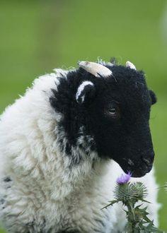 Black Headed Lamb by Andrew Michael