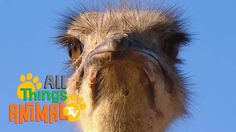 OSTRICH: Animals for children. Kids videos. Kindergarten | Preschool lea...